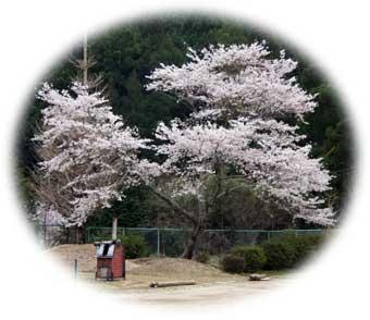 060404校庭桜2