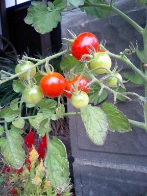 真っ赤なミニトマト