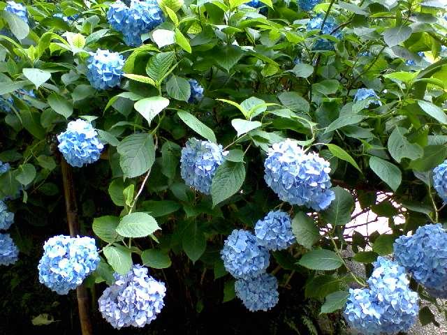 20080624明月院紫陽花.jpg