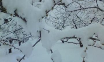 季節はずれの雪ープラムー1