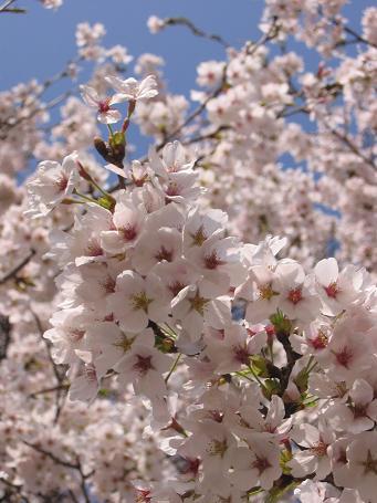 中津川の桜6