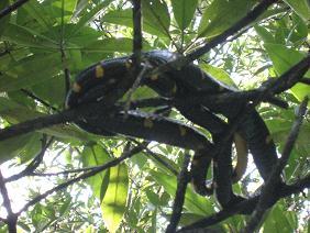 マングローブ蛇.jpg