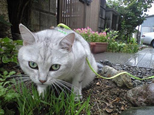 2ケ所目で猫草を食べるアニー 7・3・2009.jpg
