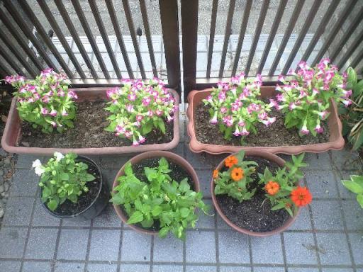 アメショー祭りのために植えたお花.jpg
