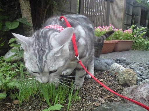 猫草を食べるアーシャ 7・3・2009.jpg