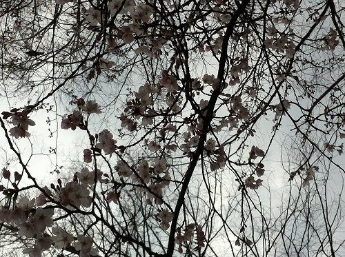 20120401タカムラ 桜 お花見1