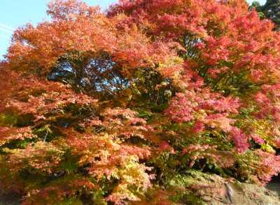 瑞宝寺 前の大きな紅葉
