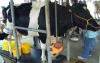 淡路島牧場乳搾り