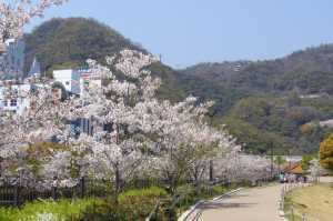 生田川公園★桜満開★花見