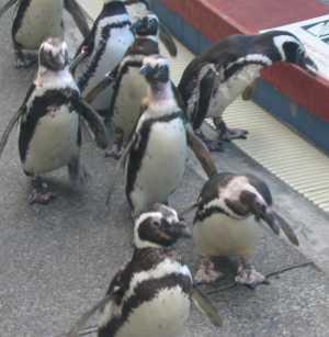 神戸水族館 ペンギンショー