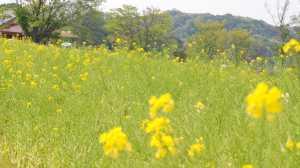 イングランドの丘★菜の花
