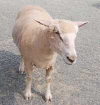イングランドの丘★羊放牧