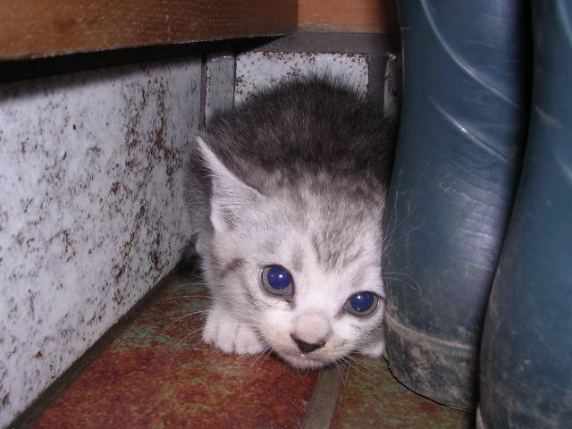 子猫 灰色