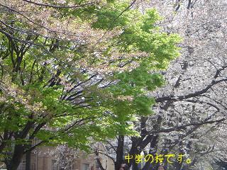 中学入学式の桜。