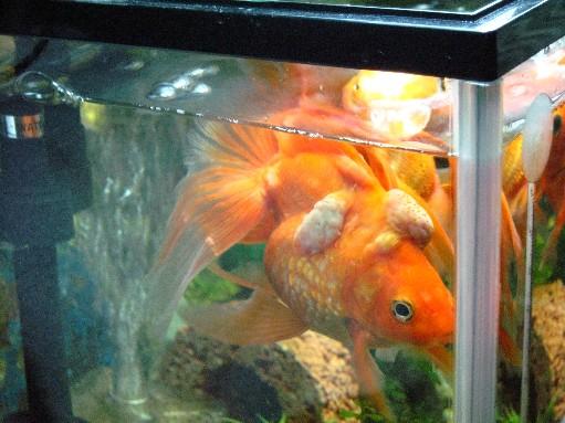 金魚の病気