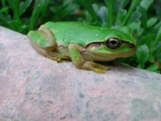 プラ鉢の上の蛙