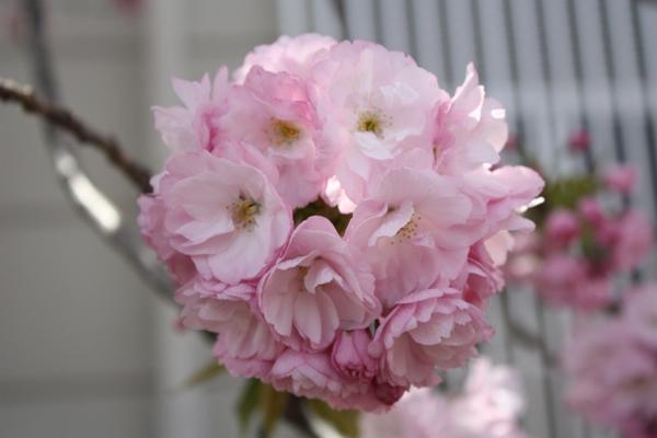 造幣局、八重桜