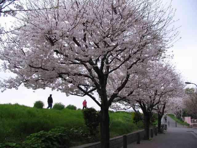 2005/4/10 早朝の桜