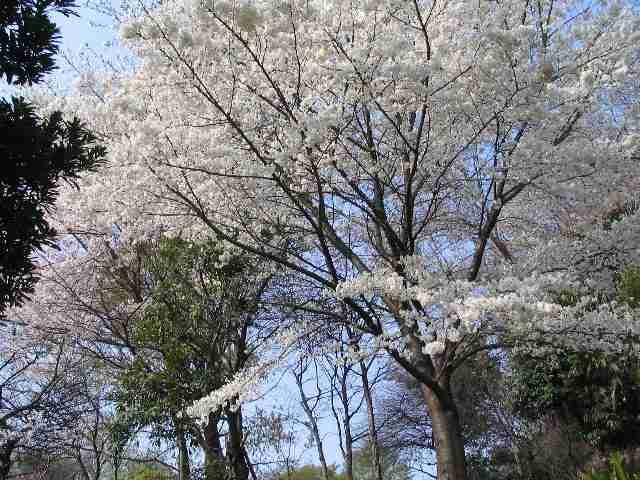 2005/4/8 通勤中、朝の桜
