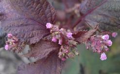 赤紫蘇の花2.jpg