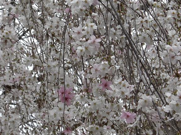 六角堂枝垂れ桜2.jpg