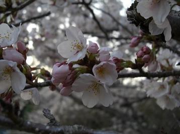 桜 九分咲2.jpg