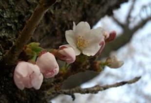 桜 九分咲3.jpg