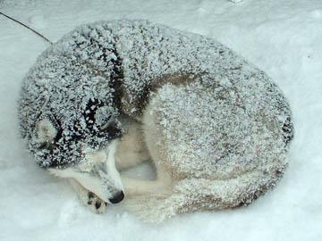 雪まみれのシベリアンハスキー