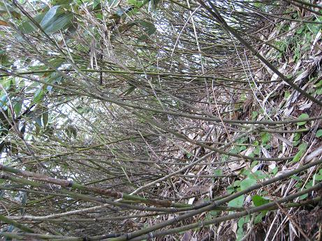 h19.5.19 チシマ笹の藪
