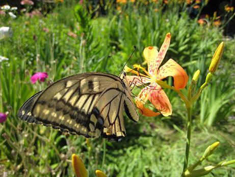 アゲハチョウと花 h19