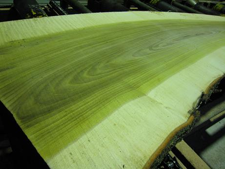 朴の木 スライス