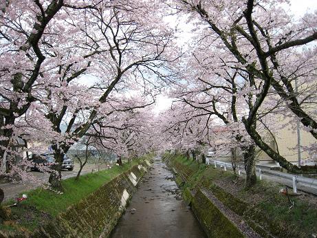 桜 すのり川