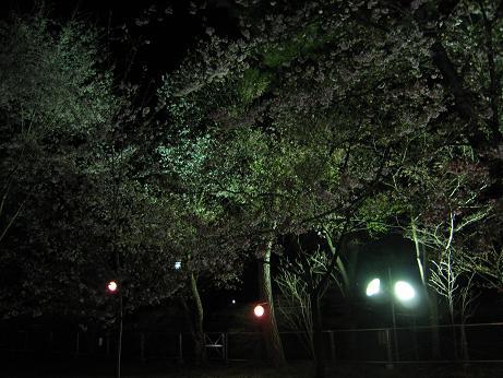 桜 桜の公園 花見