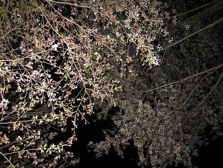 桜の公園 夜桜
