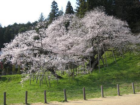 桜 h19 臥龍桜