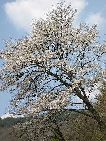 桜 h19 丹生川