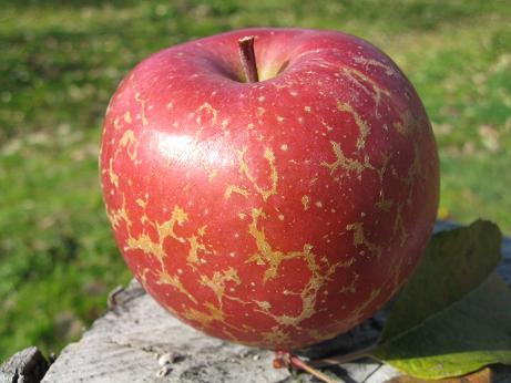 りんごの見てくれ悪いが旨い