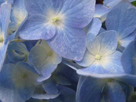 紫陽花 アップ h.19.7