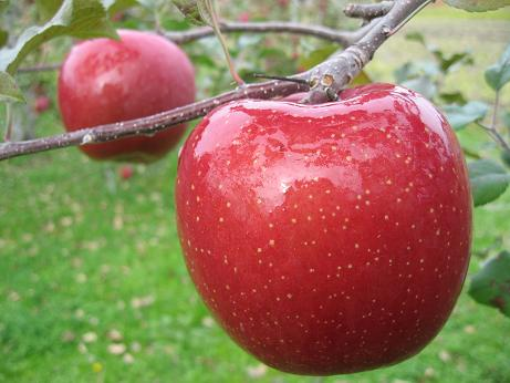 飛騨のリンゴ