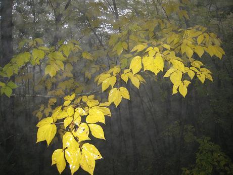 雨に打たれた紅葉