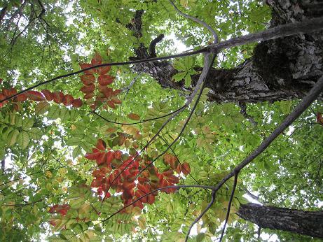 ナラの木と紅葉