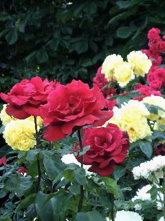 フォルクス庭園の薔薇
