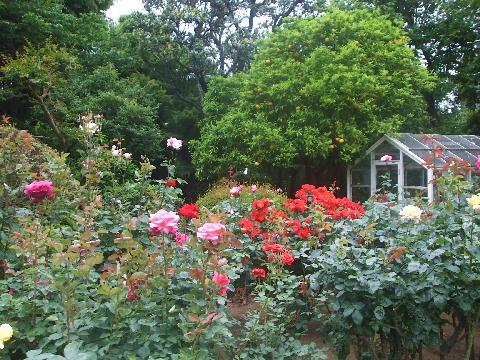 薔薇と夏みかん