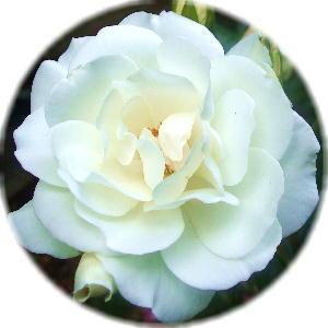 渚あきさんのイメージの白薔薇
