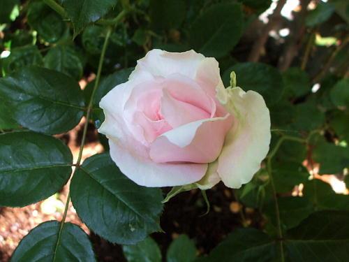 2010春の薔薇 早春