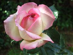 2010春の薔薇 プリンセス・ド・モナコ