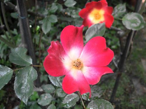 2010年春の薔薇 カクテル