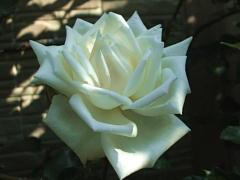 2010年春の薔薇 新雪