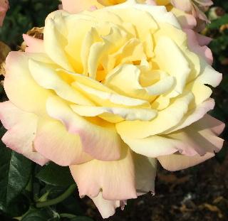 ブレナムパレスの薔薇