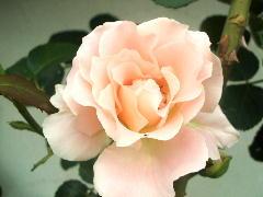 薔薇 ランチ s1